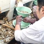 かき小屋 匠ちゃん - 牡蠣のむき身体験中