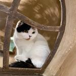 Cat Cafe てまりのおうち - 深窓の令嬢みたいなけまり
