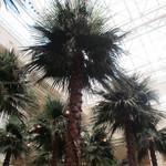 パシフィカ - ヤシの木