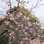 132361128 - 上野公園入口の交番の横の桜です