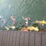 ガーデンテラス 和 - 鯉に餌(100円)もやれます