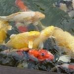 ガーデンテラス 和 - 鯉は餌をもらおうと集まって来ます