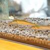 石臼挽き手打 蕎楽亭 - 料理写真:若鮎が泳いでいます