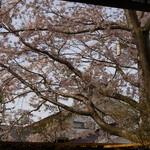さくらリビング - 春 窓いっぱいの桜