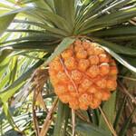 アダン - アダンは、タコノキ科タコノキ属の常緑小高木