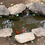 137101035 - 金魚が沢山泳いでます
