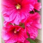 ko-mi-chi - 花が咲いてました(^_−)−☆