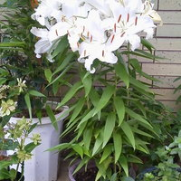 民家レストラン伊萬里亭 - 百合の花が満開です♪2012年7月6日撮影
