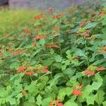 Takadatsuusenen - サマーポインセチアが沢山咲いています