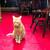 楽楽 - その他写真:看板猫「マロン」