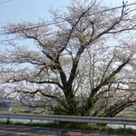 多摩川ダイナー - 去年は夜見たテラス前の桜