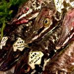 樽八 - 北海道産ハッカク