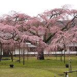 140912 - お隣醍醐寺の枝垂れ桜