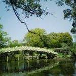 美味美園 天赦園 - 天赦園の上り藤。まるで白い橋