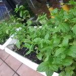 バラクーダ - 自家栽培のフレッシュミントの「モヒート」摘みたてミントの香りは他では中々味わえません。