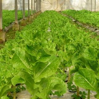 こだわり実現!自社農園で栽培した女性の手のひらサンチュ。