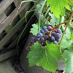 小布施ワイナリー - 道端に葡萄が・・