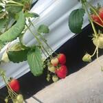 イチゴ ワールド - いちご狩り