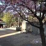 麺処 篠はら - 近くの綺麗な桜