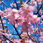 146767143 - 河津桜