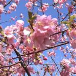 146788859 - 河津桜