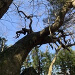 ポートおくたま - 大楢峠で見上げた巨木('21/03/10)