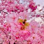 147686065 - 河津桜が満開やったよ♡