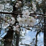 147960292 - 靱公園の桜
