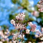 """148197262 - ポカポカ陽気に誘われて、京都御所を散策。もう桜は満開。やっぱり日本の季節の変わり目は""""桜""""ですね。日本人の魂♡"""