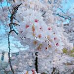 Caldo - 土佐公園の桜