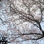 148890638 - テラスの桜