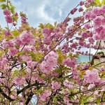149293365 - 八重桜が満開です