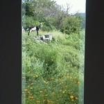 14941059 - 駐車場近くにいたヤギさん