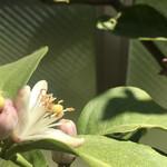 149585309 -  色の組み合わせが一緒 (レモンの花と葉 )