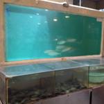 和泉屋 - 鯵が群れで泳ぐ水槽
