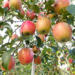 松永観光りんご園 - 料理写真:リンゴ