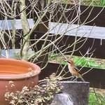 ピノキオ - お庭に小鳥がやってきました
