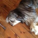 アイドントノウコーヒー ロースター - 床に寝そべった犬
