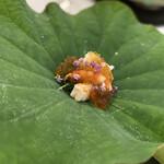 Kigaruniwashokuhana - 蓮の葉が器が素敵!