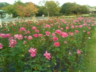 レストハウス ローズパーク - もう秋薔薇が咲いて 紅葉も少し♪
