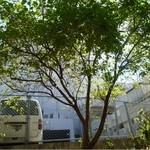 ひばり屋 - この樹が日陰を作ります