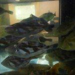 活魚・うなぎ・一品料理 タコ八 - 店内のいけすで元気に泳ぐカワハギ君たち