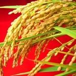 出石 城山ガーデン - 出石城山ガーデンで使うお米は、店長の実家で作る地元産コシヒカリ100%!!