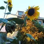 パティスリー ジュンウジタ - 近くに咲いていた季節外れの向日葵(^v^)