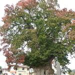 そば処 おおけやき - 特別天然記念物:樹齢1500年の「大けやき」