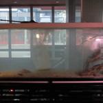 開陽亭 - 大きい生簀の中には浜直の新鮮活蟹!