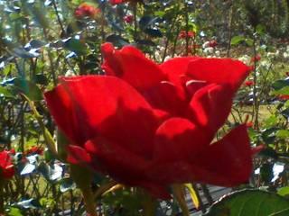 レストハウス ローズパーク - 薔薇園はすごくイイ香り♪
