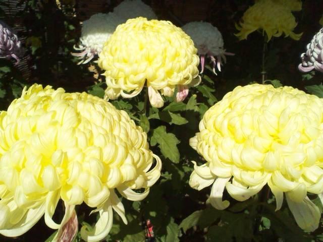 ガーデンラウンジ フォンテ - 菊のお花も♪