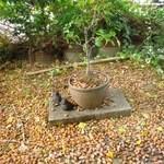 大きな銀杏の木 -