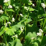 寿楽庵 - 蕎麦の花